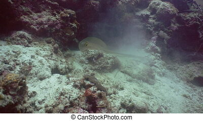Bluespotted Stingray in the sea - Bluespotted Stingray and...