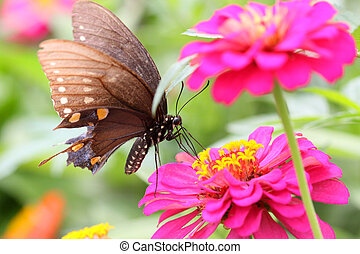 Butterfly on Zinnia - Close up shot of striped butterfly on...