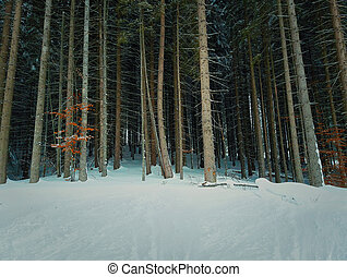 conifer - Forest of tall fir trees. Snowy winter pine.
