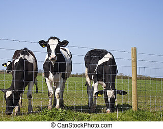 dairy cows stood by a fence - some friesian dairy cows stood...