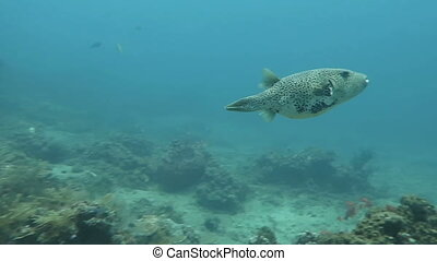 Boxfish floating in the depths of the ocean near the island...