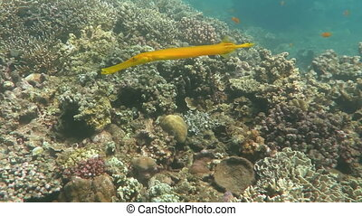 Trumpetfish Aulostomus chinensis swimming underwater in the...