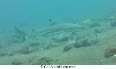 Black tip reef sharks swimming underwater.
