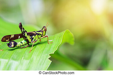 Differential Grasshopper resting inside a leaf and yellow...