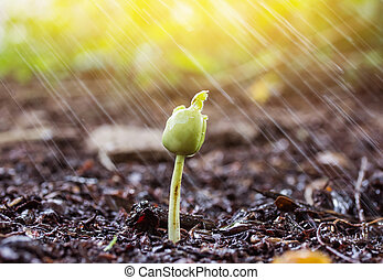 Green sprouts in rain and yellow tone with sun ray
