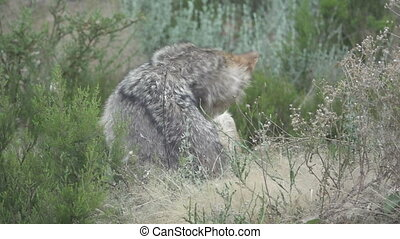 Wolf in the bush scratching - Super slow motion of wolf in...