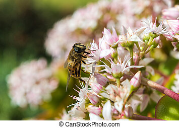 Honeybee on a Jade Plant in Maderia in a hotel garden in...