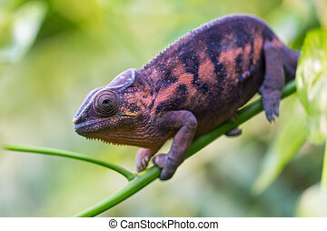 macro of panther chameleon (Furcifer pardalis) - portrait of...
