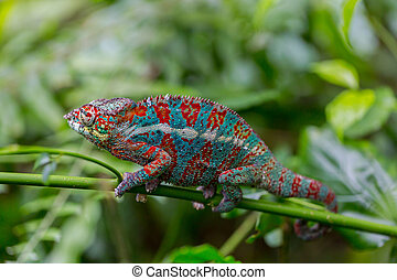 portrait of panther chameleon (Furcifer pardalis) - Macro of...