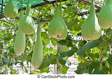bottle gourd and winter melon in greenhouse cultivation