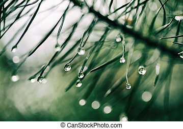 Wet pine tree - Abstract background from conifer evergreen...