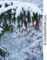 Spruce branches covered with snow