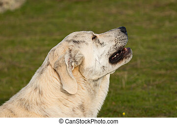Big white labrador dog in the field