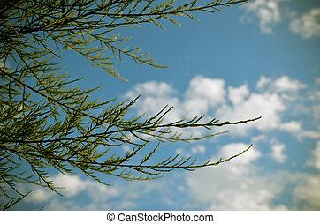 Tamarix meyeri Boiss bush against blue sky. - Tamarix meyeri...
