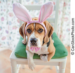 Young beagle wearing bunny ears - Young beagle dressed up as...