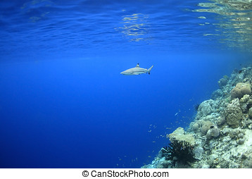 Blacktip Reef Shark - a blacktip reef shark swimming in...