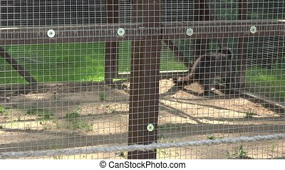 pair of raccoon animals in zoo cage. Tilt up shot. 4K