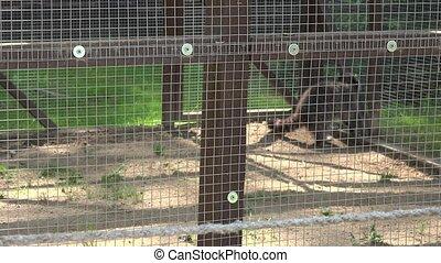 pair of raccoon animals in zoo cage. Tilt up shot. 4K
