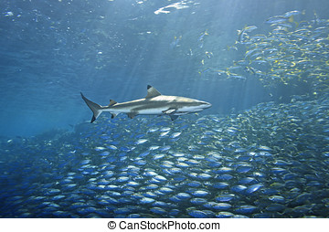 Blacktip Reef Shark and Fish - a huge school of fish fleeing...