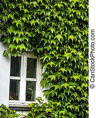 overgrown house with ivy - a house is fully overgrown with...