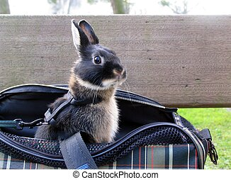 Bunny looking out of the bag - Funny face of a young bunny,...