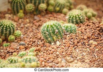 Cactus on arid area
