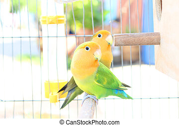 Lovebird in a Cage