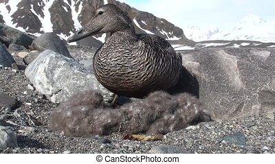 Eider duck on the nest - Arctic, Spitsbergen