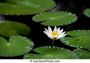 white water lily flowers in pond