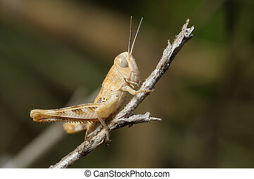 Closeup of the nature of Israel - grasshopper on a branch