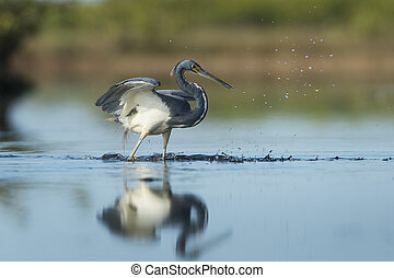Tri-colored Heron Splashing - A Tri-colored Heron misses a...