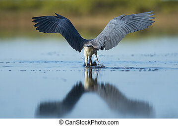 Tri-colored Heron with Wings Out - A Tri-colored Heron...