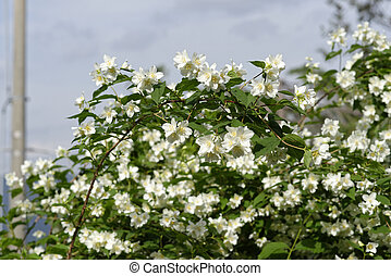 detail of philadelphus in a garden