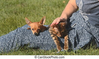 Cat and dog. Toy Terrier mini and Bengal cat. - Cat and dog....