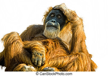 Sumatran Orangutan Pongo abelii cut out - thoughtful...