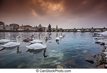 Swans, ducks and gulls in the river of Vltava during...