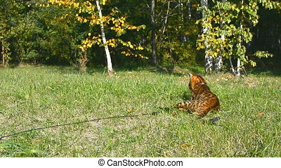 Purebred Bengal cat. - Purebred Bengal cat on a walk in the...