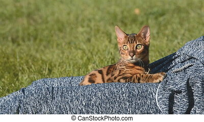 Purebred Bengal cat. - Bengal cat sitting on your lap at the...