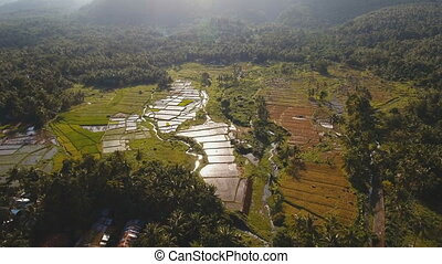 Aerial view of a rice field. Philippines - Terrace rice...