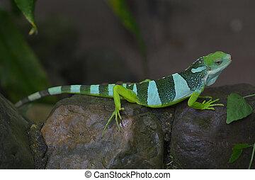 Figi,  banded,  iguana