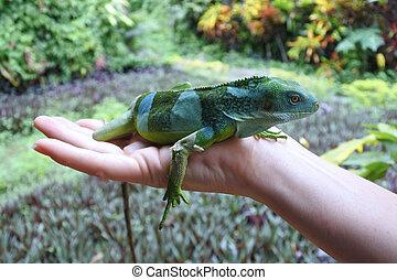 Fiji,  banded,  iguana