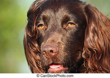 Liver coloured working type cocker spaniel pet gundog -...