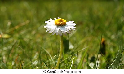 daisy and grass