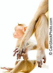 Indian macaques. parental care. monkey holds her baby's hand...