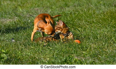 Cat and dog. Toy Terrier mini and Bengal cat. - Toy Terrier...