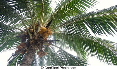 Coconut tree with coconuts. - Green coconut at tree....