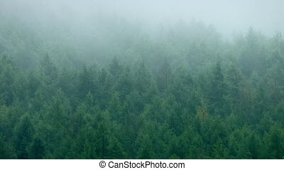 Dense Pine Forest In The Mist - Mist rolls over rugged pine...