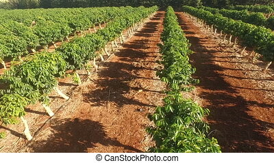 Farm Agriculture Coffee Plants Industrial Food Growth - a...