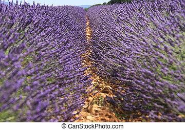 Lavande - Lavender furrow
