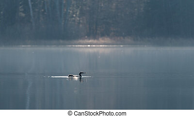Common Loon, Gavia Immer, swims slowly on a lake surface in...